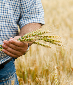 New Hampshire farmer holds wheat