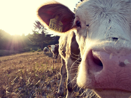 dairy farmers cow