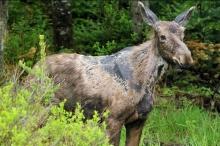 moose ticks